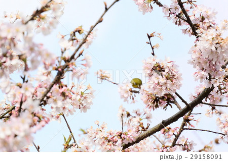 桜に鳥 29158091
