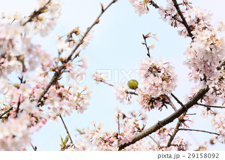桜に鳥 29158092