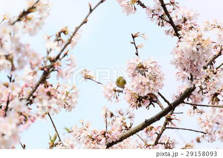 桜に鳥 29158093