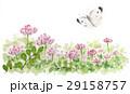レンゲ レンゲ草 花のイラスト 29158757