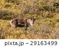 Barren Ground Caribou Bull in Velvet 29163499