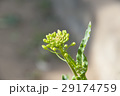 菜の花 ナバナ なの花の写真 29174759