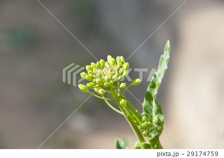 菜の花 29174759