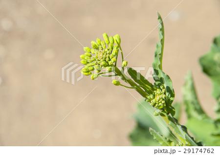 菜の花 29174762