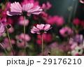 花 コスモスの花 センセーションの写真 29176210