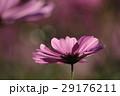 花 コスモスの花 センセーションの写真 29176211