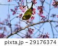 目白 鳥 桜の写真 29176374