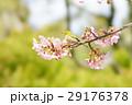 目白 鳥 桜の写真 29176378
