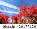 彼岸花と青空 29177120