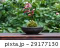苔 盆栽 和の写真 29177130