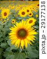 ヒマワリの花 29177138