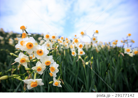 水仙の花 29177142