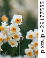 水仙の花 29177555