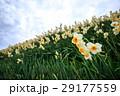 水仙の花 29177559