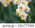 水仙の花 29177560