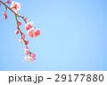 梅 しだれ梅 枝垂れ梅の写真 29177880