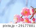 ピンクのしだれ梅と青い空7 29177881