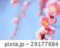ピンクのしだれ梅と青い空10 29177884