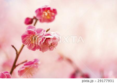 梅の花 29177931