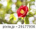 つばきの花 29177936