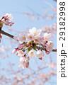 桜 29182998