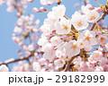 春 桜 さくらの写真 29182999