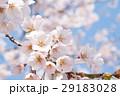 桜 春 さくらの写真 29183028