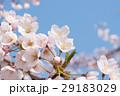 桜 29183029
