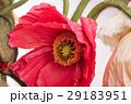 お花 フラワー 咲く花の写真 29183951