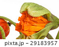 お花 フラワー 咲く花の写真 29183957