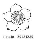 花 ヘレボラス ヘレボルスのイラスト 29184285