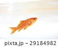 金魚 魚 魚類の写真 29184982