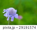 マツムシソウ 高山植物 植物の写真 29191574