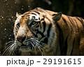タイガー トラ 虎の写真 29191615