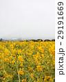 菜の花畑 29191669