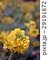 菜の花畑 29191672
