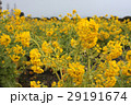菜の花畑 29191674