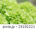 オオデマリ 花 春の写真 29192221
