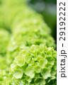 オオデマリ 緑 花の写真 29192222