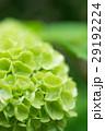 オオデマリ 緑 花の写真 29192224