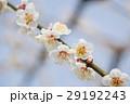 梅 南高梅 花の写真 29192243