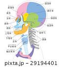 頭 骨格 骨のイラスト 29194401