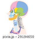骨 頭骸骨 頭のイラスト 29194650