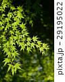 新緑のもみじ 29195022