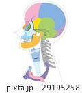 横から見た頭蓋骨の図(ボディ白) 29195258