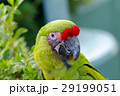 インコ 29199051