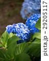 アジサイの花 29205117