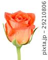 きれい 綺麗 花の写真 29210806
