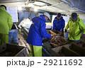 賀露港 カニ漁 選別 29211692