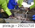 賀露港 カニ漁 選別 29211710